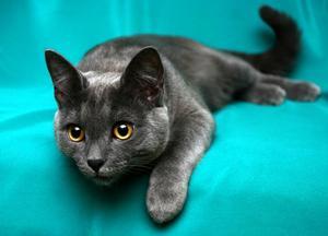 Самые умные кошки - какие это породы