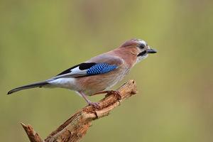 Обыкновенная сойка - умная птица