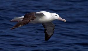 Характеристика самой крупной морской птицы королевского альбатроса
