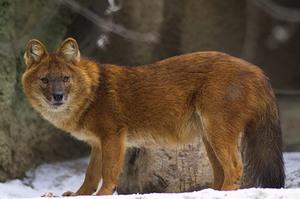 Порода красный волк