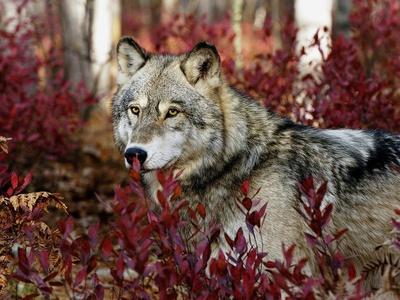 Самые большие виды волков в мире