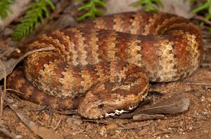 Гадюкообразная змея - фото пресмыкающегося
