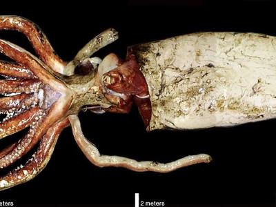Самый большой кальмар. Сколько щупалец у архитеутисов