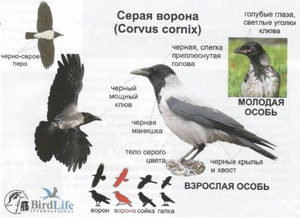 Характеристика- Серая ворона