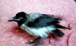 Род птиц - серая ворона