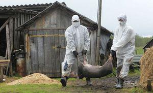 Болезни свиней-чума