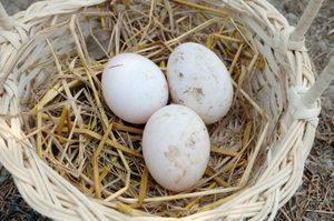 Правильная подготовка яиц к инкубации