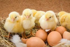 Нужна ли человеческая помощь при появлении цыплёнка