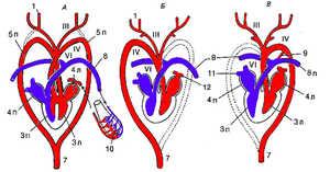 Особенности строения сердца и кровеносной системы птиц