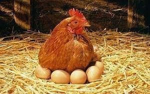 Яйца несушек-количество в день