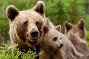Медведи в природе - образ жизни