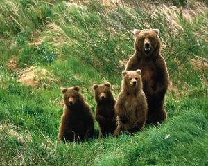 Бурая медведица - размножение и образ жизни