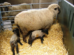 Как произошла порода овец