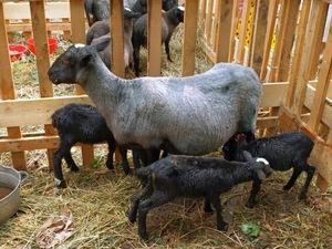 Какие на вид романовские овцы