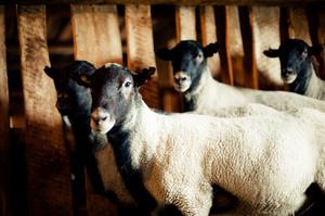 Как разводить романовский овец