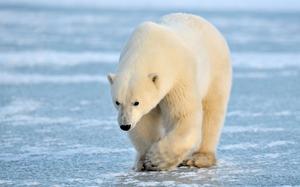 Какого размера достигает белый медведь