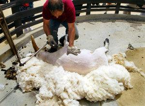 Как подготовить овец к стрижке