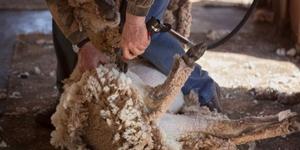 Как правильно стричь овец