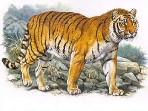 Описание внешности туранского тигра