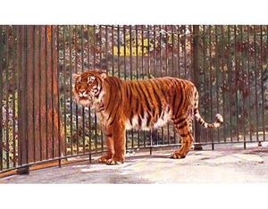 Образ жизни хищника туранского тигра