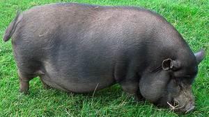 Большая Вьетнамская свинья