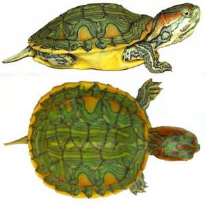 Виды черепах
