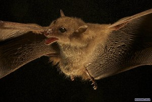 Виды летучих мышей