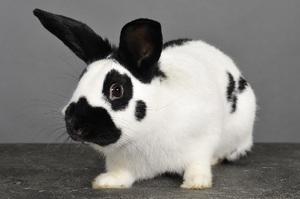Кролики породы бабочка - уход и кормление
