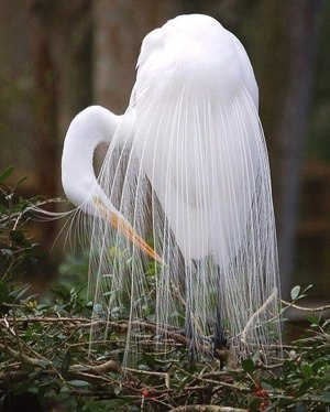 Красивая белай цапля