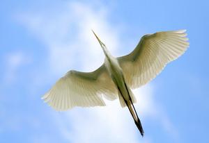 Белая цапля ареал обитания
