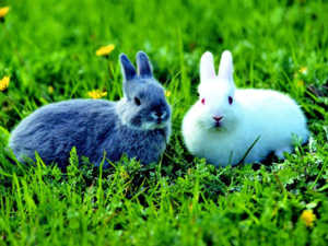 Кролики обладают более спокойным характером и легко приручаются