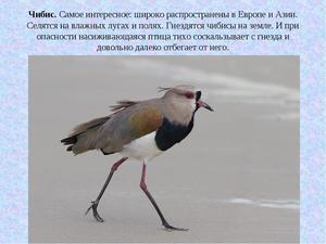Питание птицы чибис