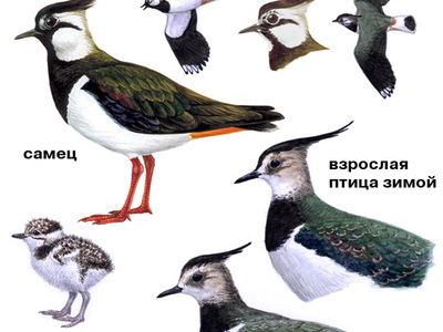 Характеристика птицы чибиса, пигалицы