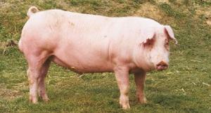 Содержание свиньи