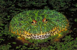 Ядовитые лягушки планеты