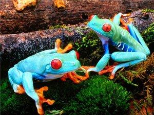 Топ-10 ядовитых лягушек