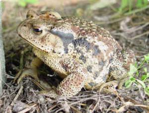 Дальневосточная жаба