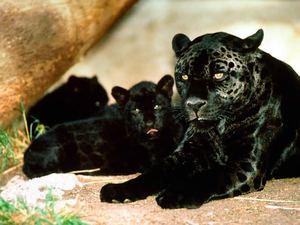 Где обитают пантеры