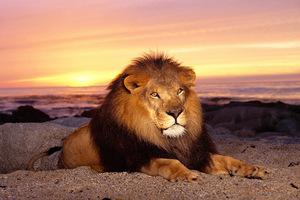 Лев - особенности животного