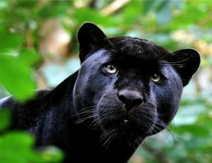 Пума черного цвета
