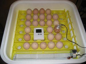 Закладка домашних яиц в инкубатор