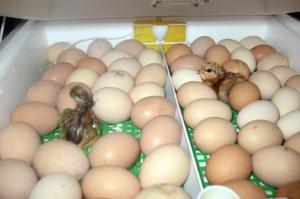 Условия инкубации цыплят