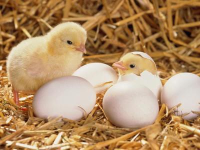 Инструкция по выводу цыплят в инкубаторе в домашних условиях