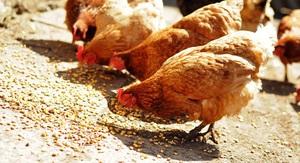 Правильный режим питания кур-несушек