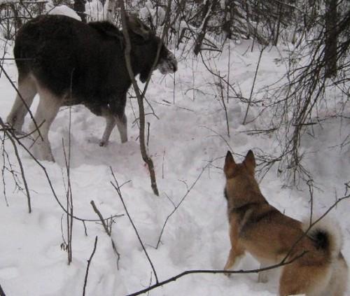 охота на лося с собаками