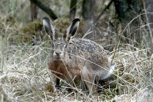 Охота на зайца русака, по чернотропу, без собаки