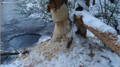 Охота на бобра, зимой