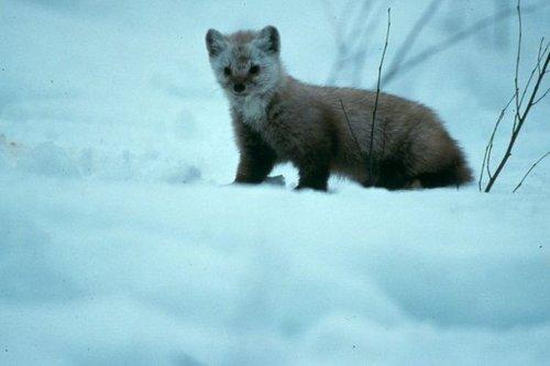 Охота на норку, зимой