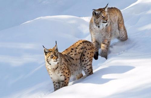 Охота на рысь, зимой