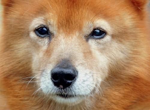 Карело-финская лайка, особенности охоты